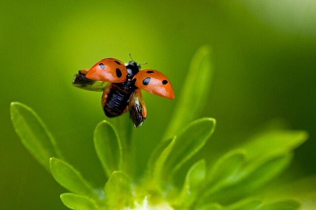 Niektoré druhy hmyzu môžu letieť až po uvoľnení blanitých krídel spod kroviek