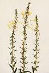 Oenothera biennis WFNY-146.jpg