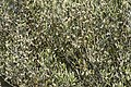 Olea oleaster - Wild olive 01.jpg