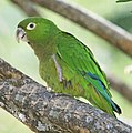 Olive-throated Parakeet.jpg