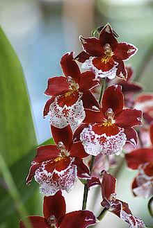 Cambria (plante) — Wikipédia