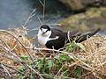 Onychoprion fuscatus -Phillip Island, Norfolk Island group, Australia -adult-8.jpg