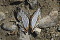 Open wing position of Cyrestis thyodamas Doyère, 1840 – Map Butterfly.jpg