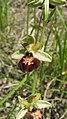 Ophrys × aschersonii 10.jpg