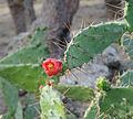 Opuntia bergeriana - Balchik.jpg