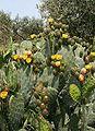 Opuntia ficus-indica 4.jpg