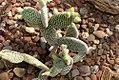 Opuntia microdasys albispina 1zz.jpg