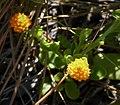 Orange Milkwort (Polygala lutea) (38897776822).jpg