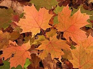 Orange maple leaves on the ground in Brampton,...
