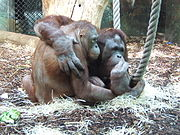 Orang-Outangs at the Ménagerie du Jardin des Plantes, Paris. Photo fr.wikipedia