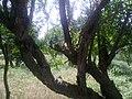 Orchard - panoramio (2).jpg