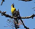 Orchard Oriole (first year male) (34584747195).jpg
