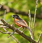 Orchard oriole.jpg