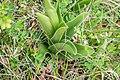 Orchis purpurea in Aveyron (3).jpg