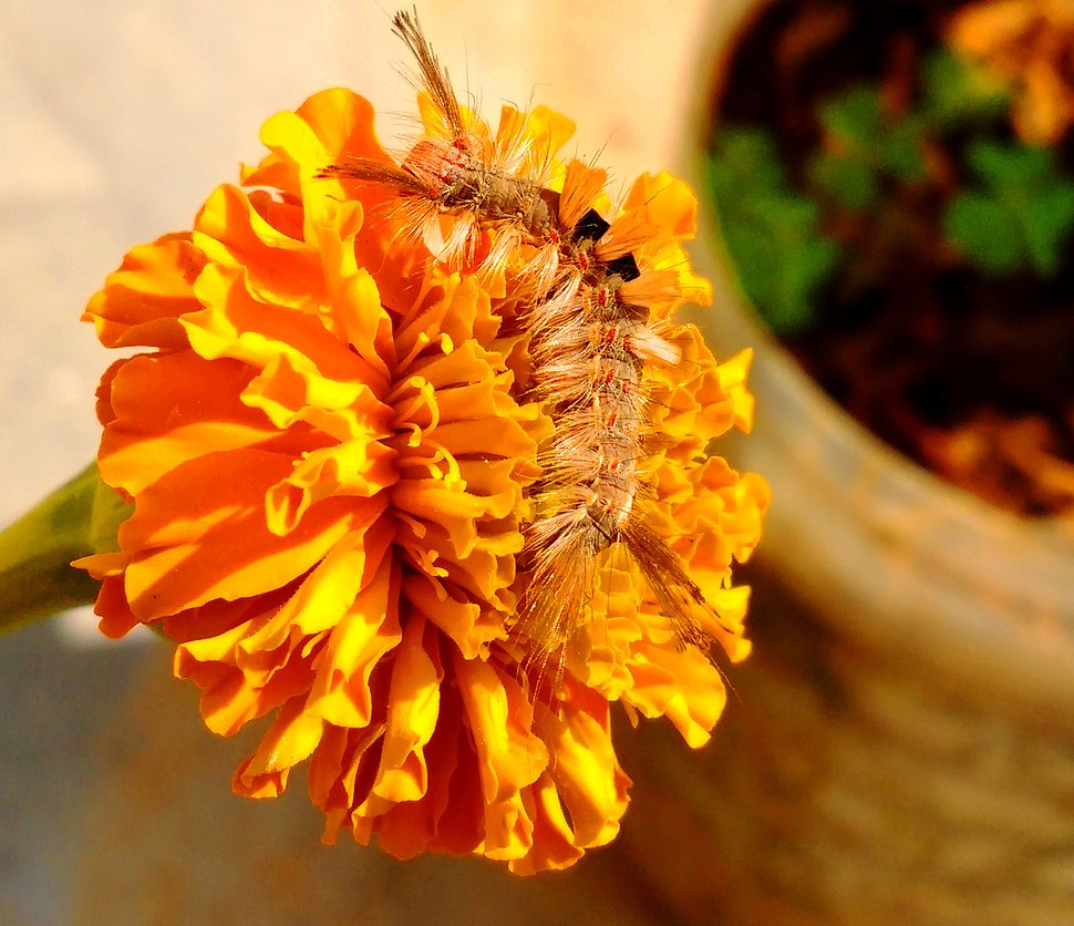 Orgyia Antiqua caterpillar