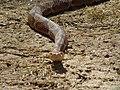 Orianne Society Rattlesnake.jpg