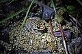 Oriente Mottled Frog (Eleutherodactylus simulans) (8572426458).jpg