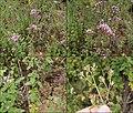 Origanum vulgare (Attendorn).jpg
