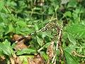 Orthetrum sabina - Green Marsh Hawk at Mayyil (2).jpg