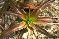 Orthophytum hutchisonianum 0zz.jpg