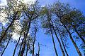 Ospetrær (525399239).jpg