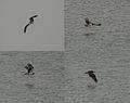 Osprey (Pandion haliaetus) near Kawal WS, AP W.jpg