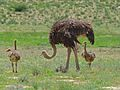 Ostrich (Struthio camelus) female with chicks (6865184870).jpg