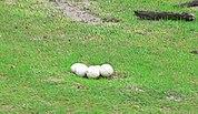 Un nid d'autruche