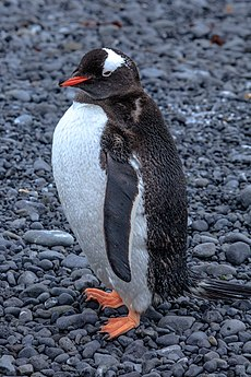 Our first landing on the Antarctic mainland, at Boown Bluff. at the N tip of the Antarctic peninsula.Gentoo Penguins (Pygoscelis papua). (25878093872).jpg