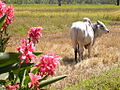 Oxen in rice farm Thailand.jpg
