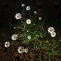 Oxeye daisies in Lahälla.jpg