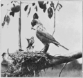 PSM V76 D543 Robin taking aim feeding young.png
