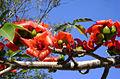Paineira-vermelha-da-Índia.jpg