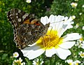 Painted Lady. Vanessa Cardui. u-s - Flickr - gailhampshire.jpg