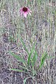 Pale Purple-Coneflower (Echinacea angustifolia) 2016-07-12 963.jpg