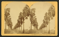 Palmetto Avenue, Fort George Island, Florida. (no.481), by Kilburn, B. W. (Benjamin West), 1827-1909.png