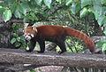 Panda roux zoo d'Auckland.JPG