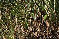Pandanus livingstonianus03.jpg