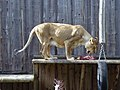 Panthera leo Tallinn Zoo 01.jpg