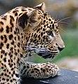Panthera onca (4694267656).jpg