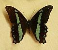 Papilio sosia-Musée zoologique de Strasbourg.jpg