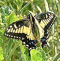 Papilio zelicaon.jpg
