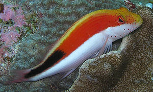 A spotted hawkfish