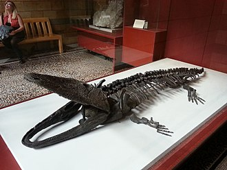 Paracyclotosaurus - Paracyclotosaurus davidi in the Natural History Museum of London