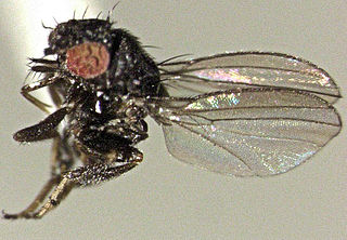 Milichiidae family of insects