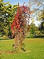 Parthenocissus quinquefolia.Düsseldorf.jpg