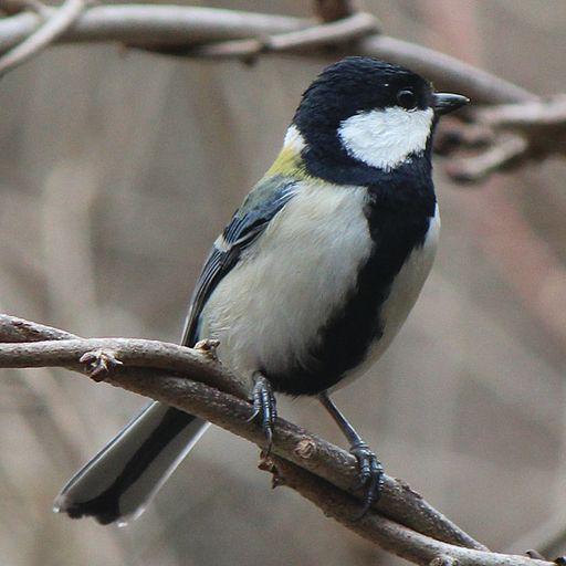 Parus minor male