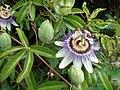 Passiflora (2135738867).jpg