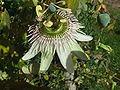 Passiflora gibertii2.jpg
