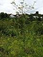 Pastinaca sativa subsp. urens plant (01).jpg